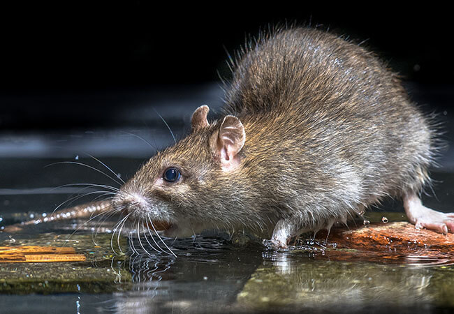 Rat Rodent Removal and COntrol - Southampton, Hedge, Hampshire