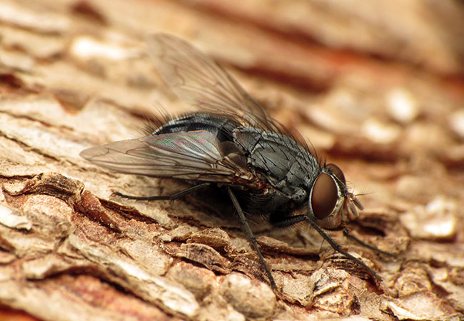 Blue Bottle Fly - Pest Control, Southampton, Hampshire