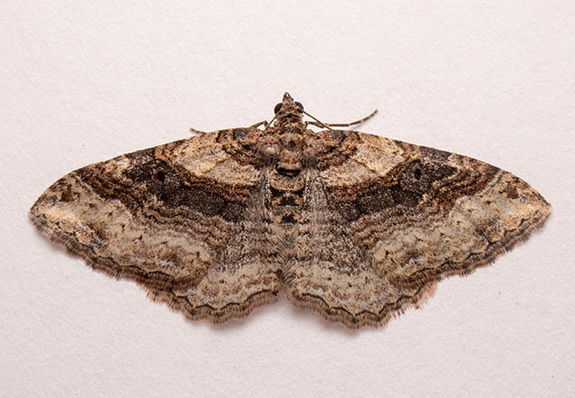 Carpet Moth Removal, Southampton, Hampshire, Hedge End