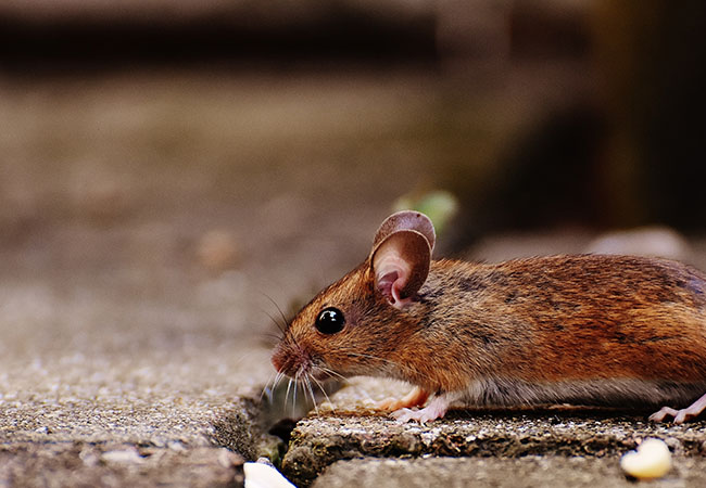 Mouse, rodent, pest control - Southampton, Hampshire