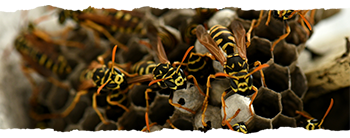 Wasp Nest Removal - Hedge End, Southampton, Hampshire